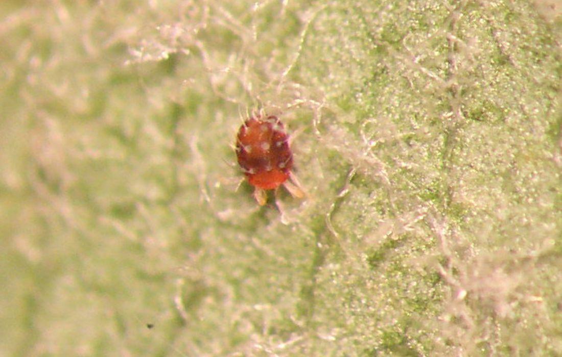 Rote Spinnen-Plage im Obstbau? So erkennst du die Obstbaumspinnmilbe