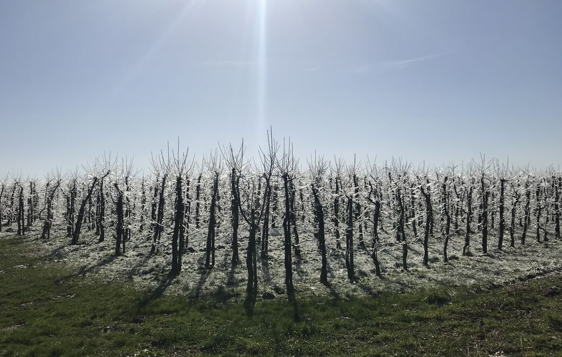 Blütenfrost droht? 5 Maßnahmen wie du Obstblüten vor Schäden bewahrst
